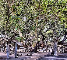 Banyan Tree by djphoto