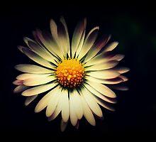 Daisy  by Joshua Greiner