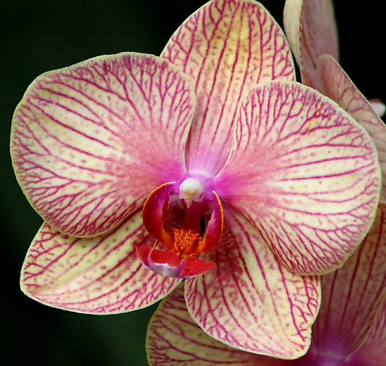*Pink Striped Orchid* by DeeZ (D L Honeycutt)