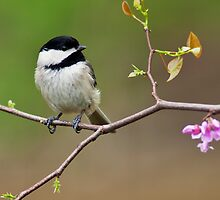 Black-capped Chickadee by Michael Mill