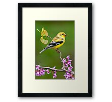 American Goldfinch in Spring Season Framed Print