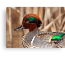 Green Winged Teal Close-up Canvas Print