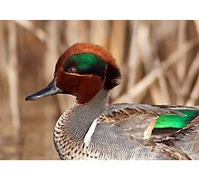 Green Winged Teal Close-up Photographic Print