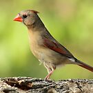 Pretty Cardinal by Gregg Williams