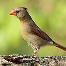 Pretty Cardinal by Gregg Williams