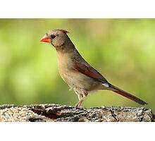 Pretty Cardinal Photographic Print