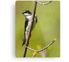 Young Tree Swallow Metal Print