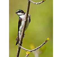Young Tree Swallow Photographic Print