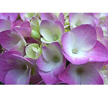 Nose to Nose with Hydrangea Photographic Print