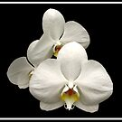 White Orchids on Black Background by Rose Santuci-Sofranko