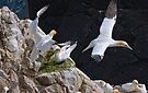 got you! Gannets, Saltee Island, County Wexford, Ireland by Andrew Jones