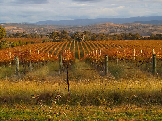 Across the vineyards just before sunset. by shortshooter-Al