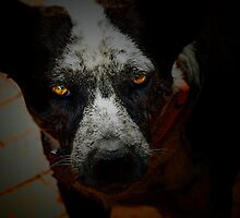 Australian Cattle Dog by ArtbyDigman