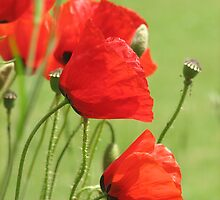 Field Poppies and grass by RKLazenby