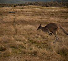Jumping Kangaroo at Namadgi National Park by Simone Clark