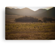 Mob of kangaroos, Namadgi National Park, Australia Canvas Print