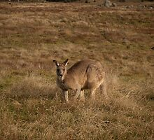 Kangaroo at Namadgi National Park, Australia by Simone Clark