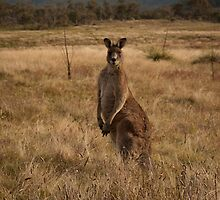 Male kangaroo, Namadgi National Park by Simone Clark