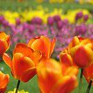 Orange Tulips by RKLazenby