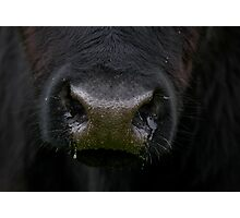 Black Nose of Angus Steer Photographic Print