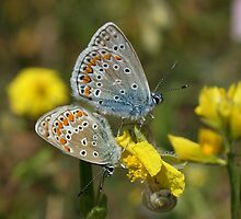Common Blues by marens