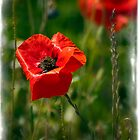 soft focus poppy  by Richard Downes