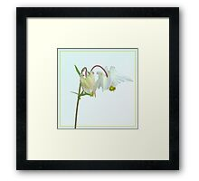 Aquilegia on light background Framed Print