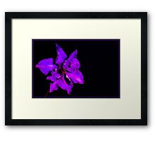 Clematis on dark background Framed Print