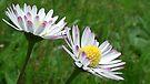 Pink Tipped  Daises Taken Uplyme.Devon UK by lynn carter