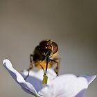 Episyrphus Balteatus by theriverrat