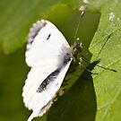 female orange tip butterfly by theriverrat