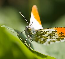 Male orange tip butterfly by theriverrat