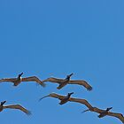 Pelicans Flying in Formation by Robby Ticknor
