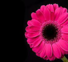 Pink Gerbera by Platslee