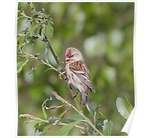 Redpoll perched on a branch Poster