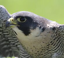 peregrine falcon by theriverrat