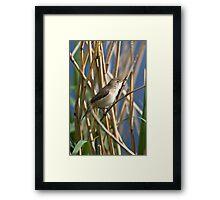 Reed warbler Framed Print
