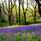 Spring Blue Bells, Blackberry Camp, Devon by MWhitham