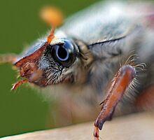 Cockchafer (May bug) by LisaRoberts