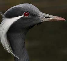Demoiselle Crane by Mark Hughes