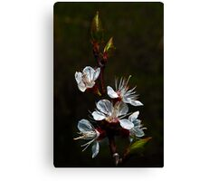 Apricot in bloom Canvas Print