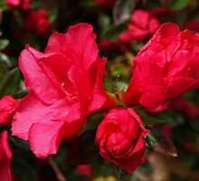 Ravishing Red Wing Azaleas by Lee d'Entremont