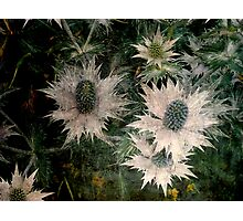 Thistle Patch  Photographic Print