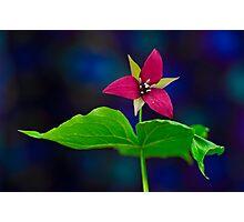 Red Trillium   Photographic Print
