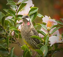 Red Wattle Bird (Anthochaera carunculata) by John Holding