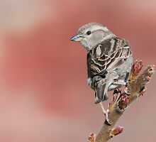 House Sparrow on Sumac by (Tallow) Dave  Van de Laar