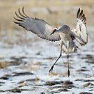 Sandhill Crane Landing by kurtbowmanphoto