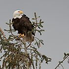 Bald Eagle Posing by David Friederich