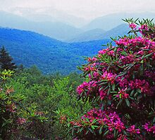 RHODODENDRON, BLUE RIDGE PARKWAY by Chuck Wickham