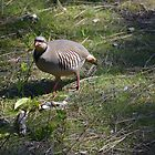 Chukar on Tubb Hill by Kate Farkas
